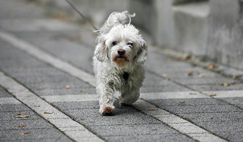 Hund St 480