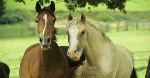 Ponys 1