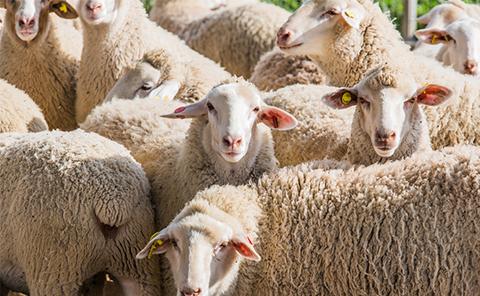 Schafe St 480