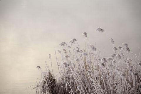 Schilf Shutterstock 480
