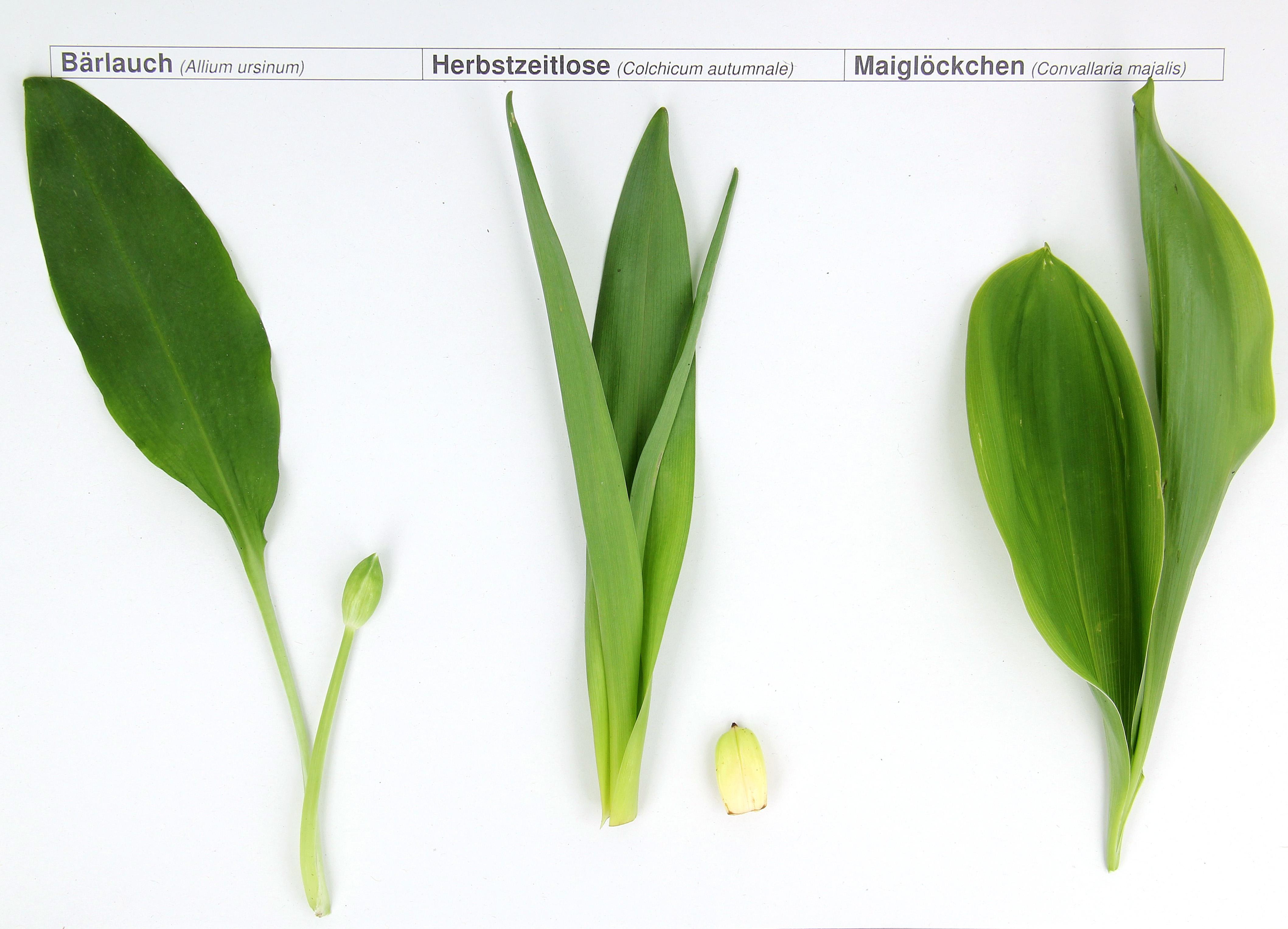 Bärlauch-Herbstzeitlose-Maiglöckchen - LUA.jpg