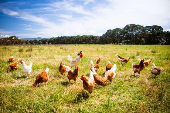 Hühner_BILD_FiledIMAGE.jpg
