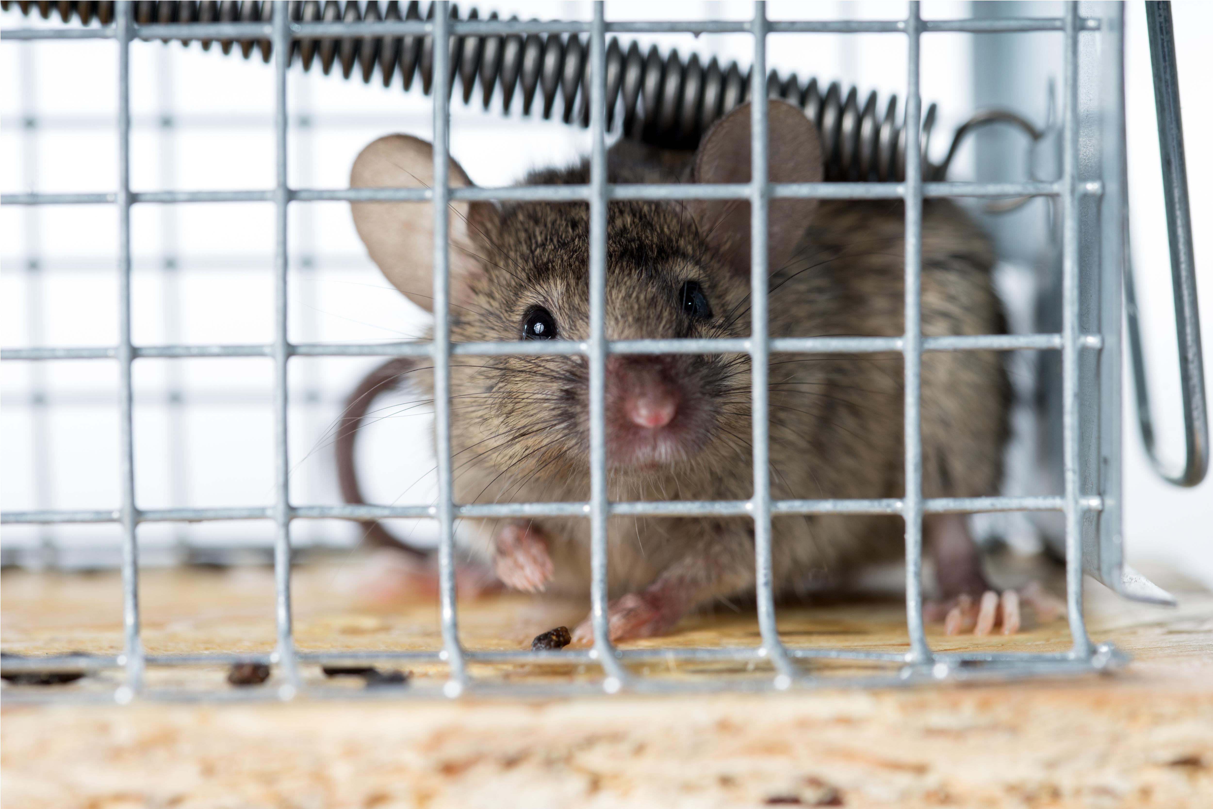 Das Hilft Wirklich Gehen Eine Mauseplage Im Haus