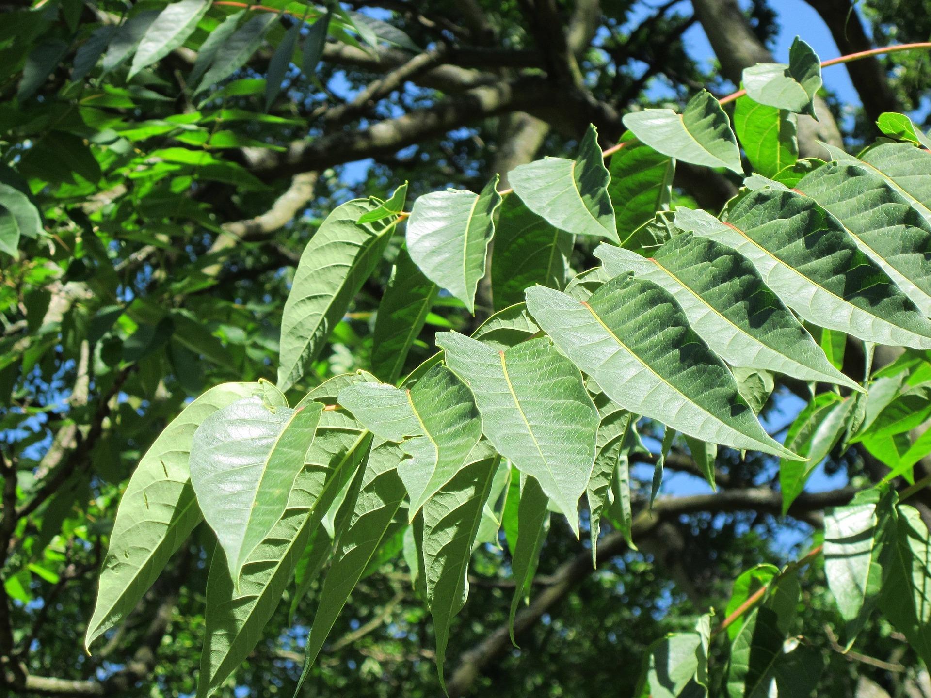 ailanthus-altissima-844478_1920.jpg